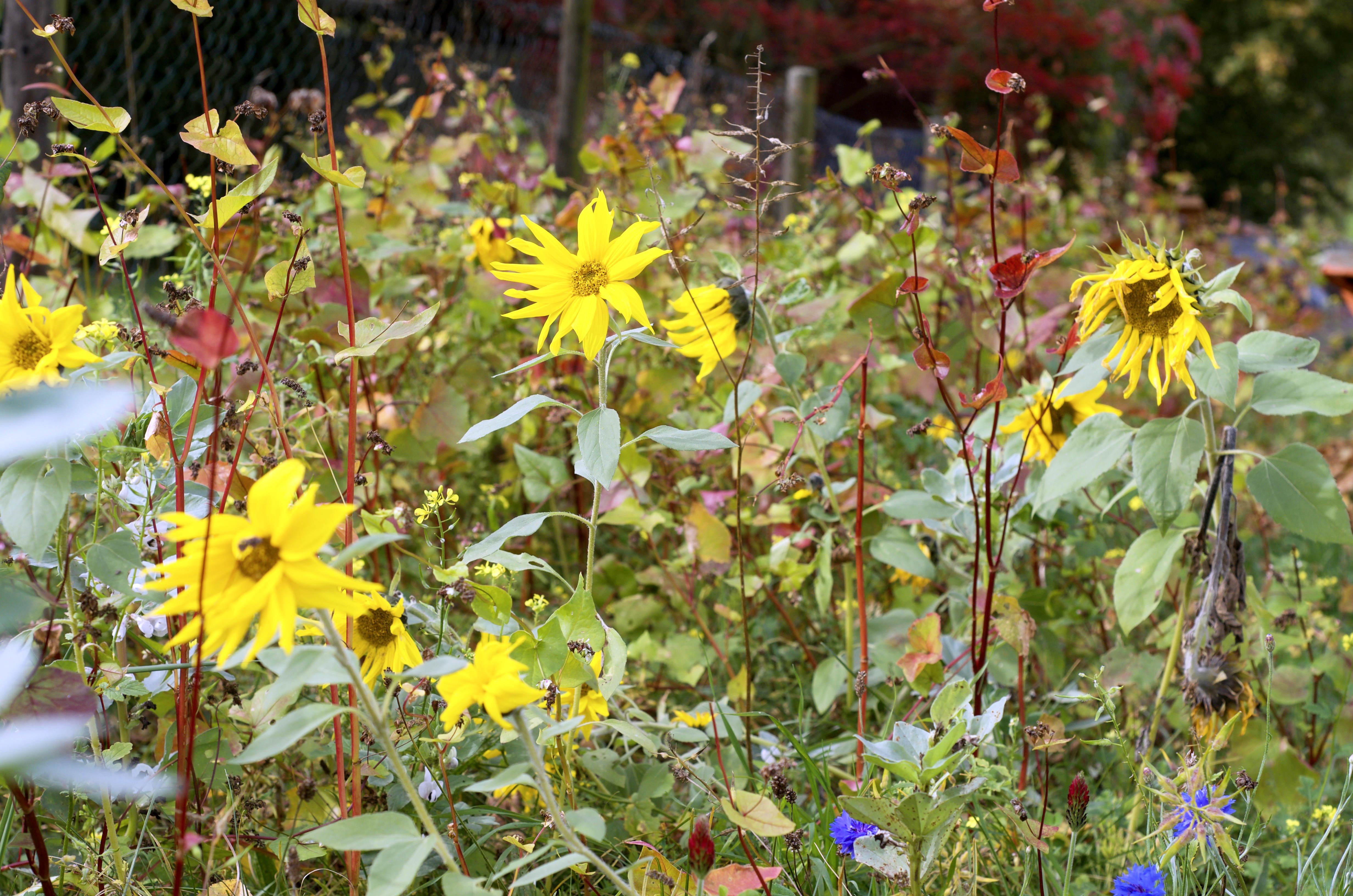 Blumenwiese Anlegen unser naturgarten ye olde kitchen food und gartenblog